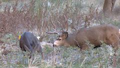 Rutting Buck Follows Doe & Smells Where She Urinates Stock Footage