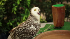 Snowy owl, science names Bubo scandiacus sitting on timber Stock Footage