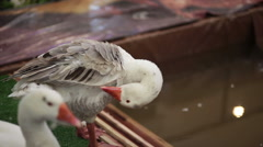 Embden Goose, dressing feather near the pond in HD Stock Footage