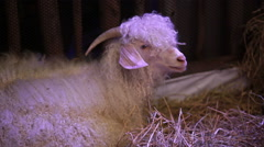 "Angora Goat sit on straw, science names ""Fauns"" or ""Satyr"" in HD Stock Footage"