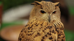 European Eagle owl or Eurasian eagle owl looking and watching around in HD Stock Footage
