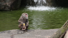 A Formosan rock macaque, Macaca cyclopis eating on the ground, waterfall -Dan Stock Footage