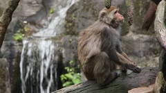 A Macaca cyclopis sitting on the tree and grooming, background a waterfall -Dan Stock Footage