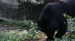 A Formosa Black Bear, Ursus Thibetanus Formosanus, walking for the forest -Dan Stock Footage