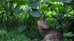 A Cervus nippon, Sika Deer, resting lying among the trees and forest plants-Dan Stock Footage