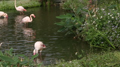 A group flamingo, Phoenicopterus roseus, Phoenicopterus chilensis, in lake -Dan - stock footage