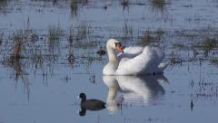 Swans on small pond with Common Coot Stock Footage