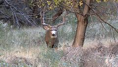 A Small Buck is Given Looks of Intimidation After the Chase Stock Footage