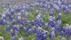 Blue Bonnet Wild Flowers Meadow Rack Focus Stock Footage