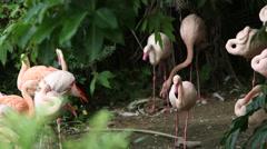 A group flamingo, Phoenicopterus roseus, Phoenicopterus chilensis, resting-Dan - stock footage