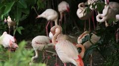 A group flamingo, Phoenicopterus roseus, Phoenicopterus chilensis, resting-Dan Stock Footage