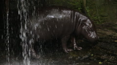 A Pygmy Hippo, Pygmy Hippopotamus, resting in the water in a waterfall -Dan Stock Footage