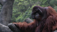 A Bornean Orangutan, Pongo Pygmaeus, resting among the trees at forest-Dan Stock Footage