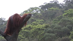 A Bornean orangutan, Pongo pygmaeus, climbed up to the top of the tree-Dan Stock Footage