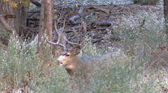 Mature Buck With Head High Follows Doe Into High Weeks Stock Footage
