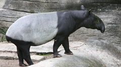A adult and a juvenile Malayan tapir, Tapirus indicus, waiting food in zoo-Dan Stock Footage