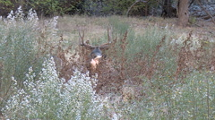 Mature Buck Follows and  Courts Doe in High Weeds Stock Footage