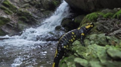 Salamander climbing on rock with background waterfall in slow motion Stock Footage