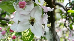bee collects nectar from apple blossom 4k - stock footage