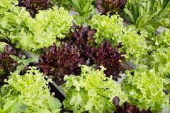 Salad cultivation Stock Photos