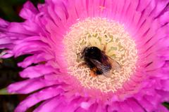 Bombus immersed inside a flower. - stock photo