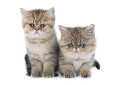 Persian kitten Kuvituskuvat