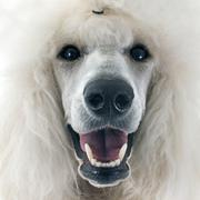 Stock Photo of white Standard Poodle
