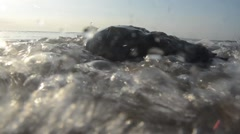 Horseshoe crab (Limulus polyphemus) on the shoreline Stock Footage