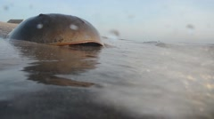 Horseshoe crab (Limulus polyphemus) on the seaside Stock Footage