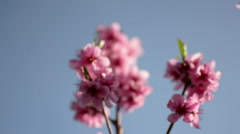 Beautiful pink blossom of a fruit tree. Pulling focus on blossom Stock Footage