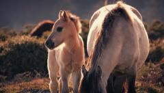 Horse Foal Next To Mother At Sunset Stock Footage