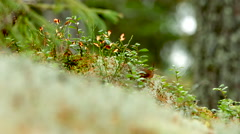 Lingonberry plants on forest floor Stock Footage