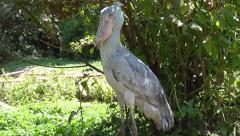 Shoebill - Balaeniceps rex - Lake Victoria - Uganda, East Africa - stock footage