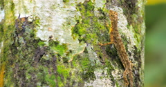 Tropical lizard with camouflage colored skin praying for insects on tree trunk Stock Footage