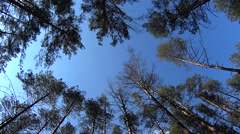 Upward view of pine trees blown by wind on blue sky background Stock Footage