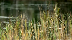 Scirpus in a lake Stock Footage