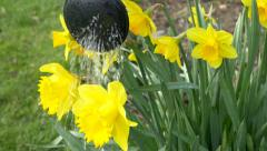 Watering daffodils 4k springtime scenery flowers spring cheerful background Arkistovideo