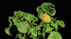 Blooming yellow Hibiscus flower buds ALPHA matte, (Hibiscus Valencia), FULL HD.  Stock Footage