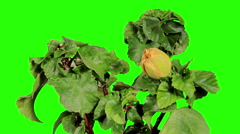 Blooming yellow Hibiscus flower buds green screen, (Hibiscus Valencia), FULL HD. Stock Footage