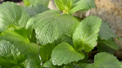Lemon balm in the garden,real time Stock Footage