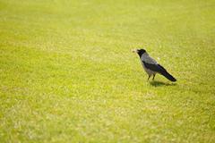 Hooded crow bird gathering hay Kuvituskuvat