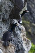Stock Photo of Red-faced cormorant (Phalacrocorax urile) sitting in nest on cliff