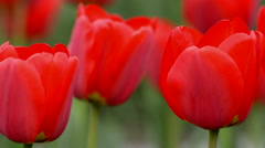Red tulip in park in spring time Stock Footage