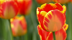 Beautiful tulip in spring time Stock Footage