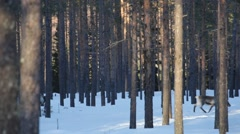 Group of reindeer moving through deep snow in fir forest Stock Footage