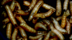 Maggots(Acheta Domesticus )Fat insect larvae,Bait for Fishing Rod Stock Footage