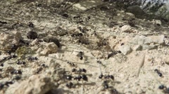 Many ants walking walking around a hole; fir needle dropping Stock Footage