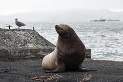 Northern Sea Lion (Eumetopias Jubatus) on the beach Stock Photos