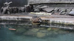 Nutria or river rat eating bread in the water in the zoo Stock Footage
