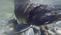 Underwater wild Alaskan salmon in river Stock Footage